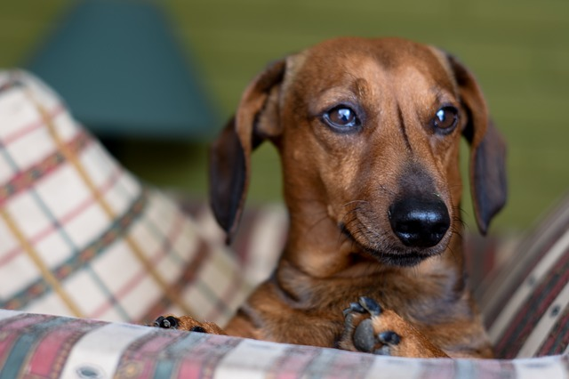 Oakley the Dachshund is.. HOME ALONE!