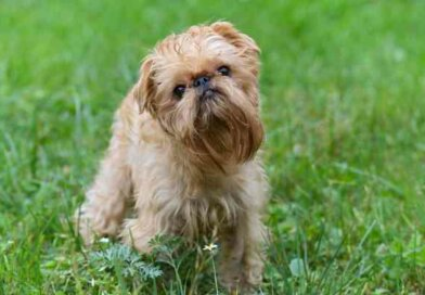 Brussels Griffon Dog Breed Information
